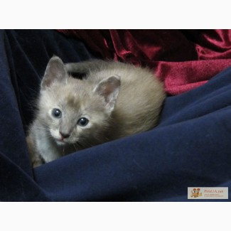 Тонкинские котята, Одесса