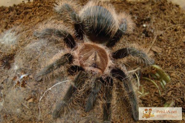 Фото 1/1. Продам паука паук