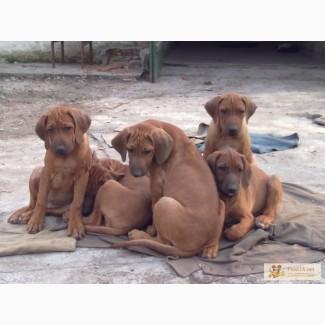 Родезийский риджбек супер щенки
