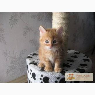 Питомник Magical Lynx предлагает котят курильского бобтейла