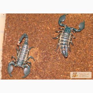Продам взрослую пару Pandinus imperator (Императорский скорпион)