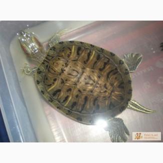 Красноухая и европейская болотная черепахи