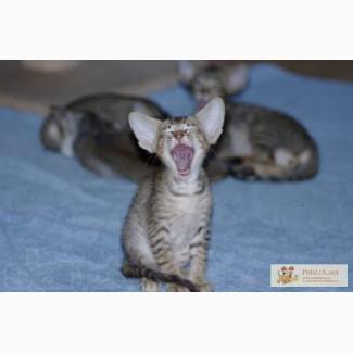 Супер-котята ориентальной породы