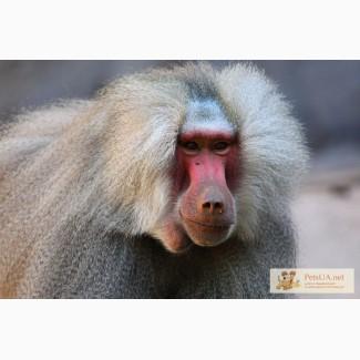Продам мартышки , гамадрилы, обезьяны разных пород Продам мартышки , гамадрилы, обезьяны разных поро