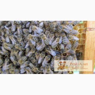 Продам елітні бджоломатки карпатки Продам з травня по вересень високоякісні плідні мічені