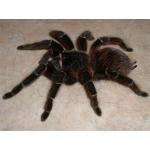 Продаётся паук птицеед