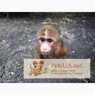 Продам обезьянку