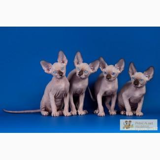 Котята породы канадский сфинкс, племенная пара