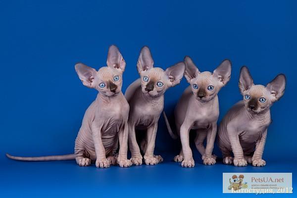 Фото 3. Котята породы Эльф, бамбино, канадский сфинкс, племенная пара