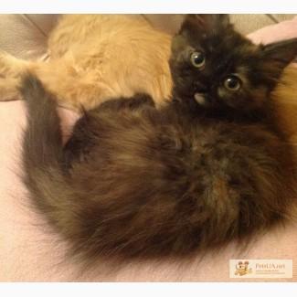 Пушистые котята балинез-метис
