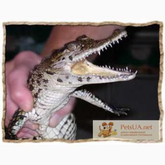 Продаются ручные крокодильчики малыши
