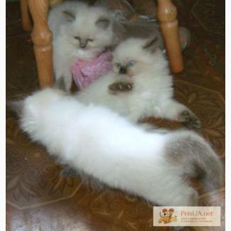 Домашние котята регдолл.