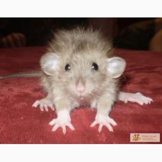Крысы и мыши декоративные . Хомяки.