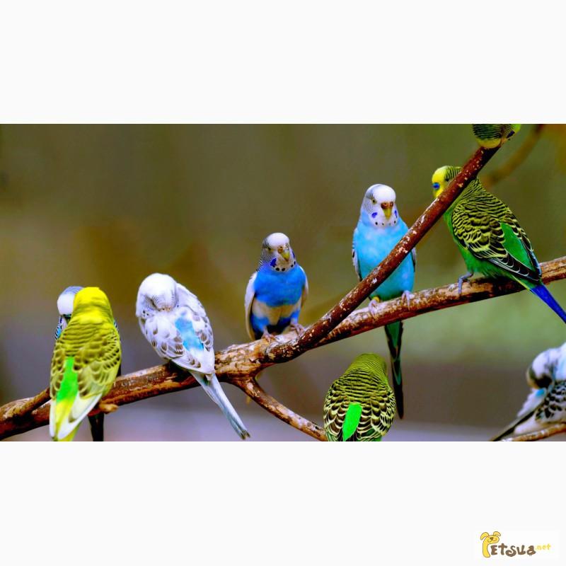 Фото 1/1. Волнистые птенцы