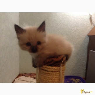 Продам балинезийского котенка
