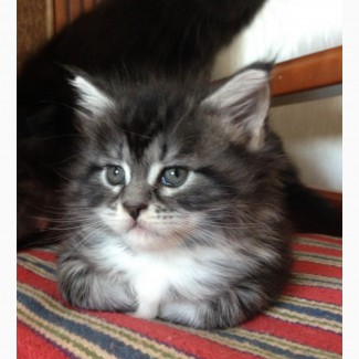 Котенок породы мейн-кун. Шикарный мальчик премиум класса