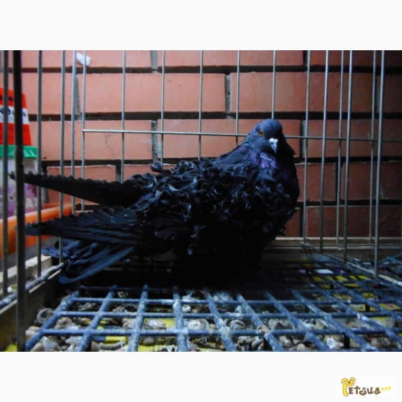 Фото 1/13. Продай голубей