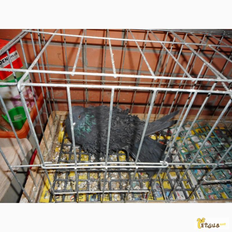 Фото 2/13. Продай голубей