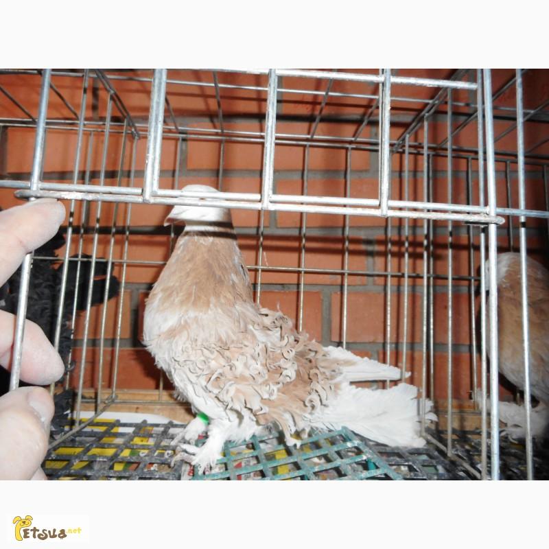 Фото 3/13. Продай голубей