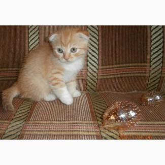 Кот скоттиш-фолд красный пятнистый биколор 2, 5 мес