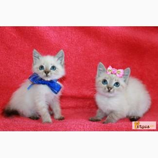 Продам котят невских маскарадных