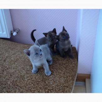 Продаются бурманские котята