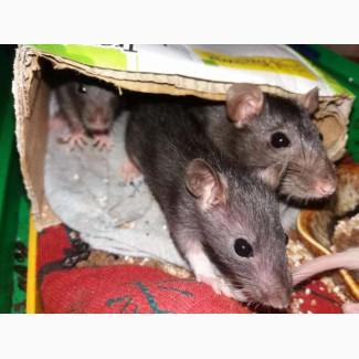 Отдам крысят в хорошие руки (не на корм)