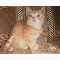 Кот скоттиш-страйтт красный пятнистый 2, 5 мес