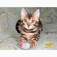 Бенгальский котенок (официальный питомник WCF)