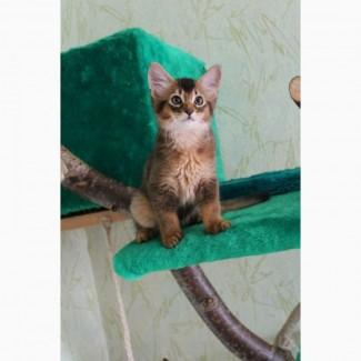 Сомалийские кошки-роскошь совершенства