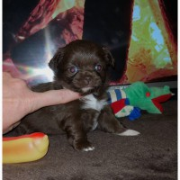 Предлагаются к продаже высокопородные щенки чихуахуа: мальчики и девочки