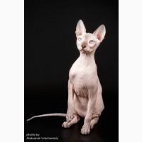 Котята донского сфинкса, голорожденные и флок