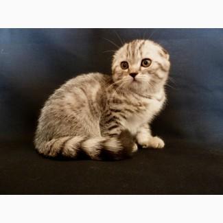 Продается очень красивый и нежный шотландский вислоухий котик вискасного окраса, котенок