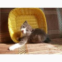 Кот скоттиш-страйтй голубой биколор 2, 5 мес