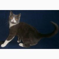 Кот скоттиш-страйтй голубой биколор. Котята