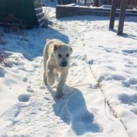 Продам чистокровных щенков Среднеазиатской овчарки Алабая