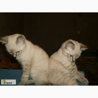 Балинезийские котята редкого голубого и лилового тебби-поинт окраса
