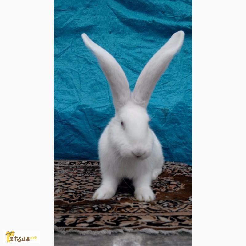 Фото 3/12. Продам кролей великанов. Фландр, Ризен, Обер