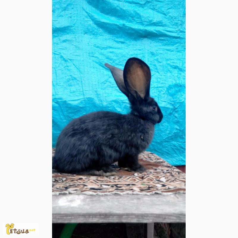Фото 1/12. Продам кролей великанов. Фландр, Ризен, Обер