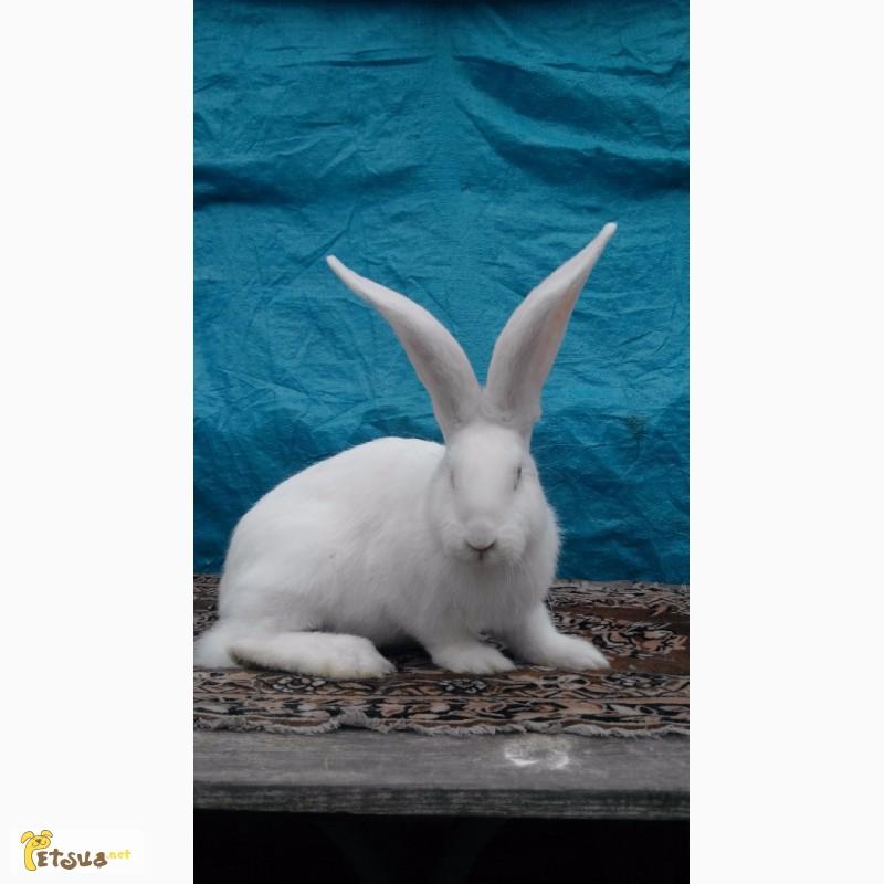 Фото 2/12. Продам кролей великанов. Фландр, Ризен, Обер