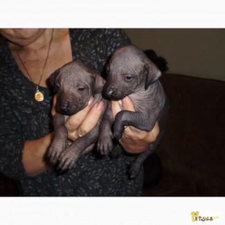 Продам щенков мексиканской голой