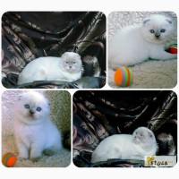Вязка, вислоухий голубоглазый кот для вашей кошечки
