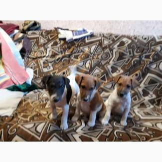 Продам щенков гладкошерстного фокстерьера