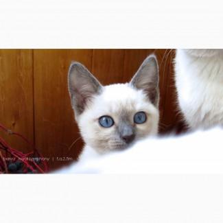 Тайские котята из питомника ROYAL SYMPHONY
