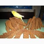 Чумиза коломенська