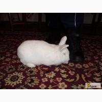 Терміновий продаж кролів різних чистокровних порід