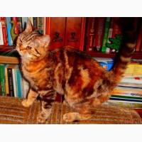 Кошка скоттиш-страйт красная пятнистая биколорная. Котята