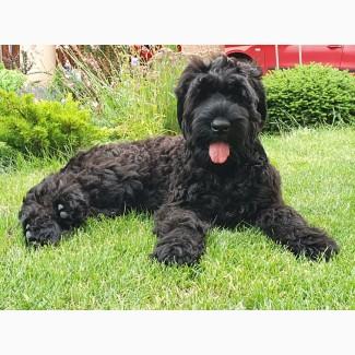 Весёлый и активный щенок чёрного терьера (кобель) ищет свою семью