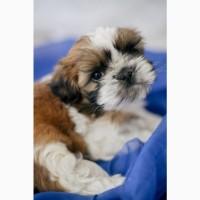 Купить щенка ши тцу в Киеве