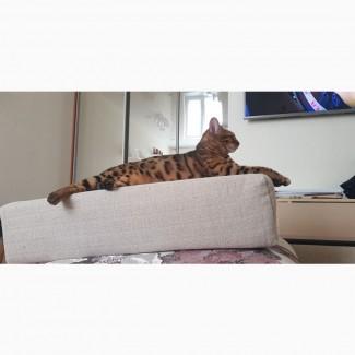 Отдам в добрые руки Беггальскую кошку 2, 5 года с документами очень красивая стерелизованна